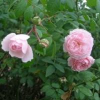 「花咲きファーム」にて・・バラ達編