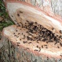 カラマツ伐採