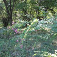 10月中旬過ぎの皇居東御苑で(3)カシワバハグマ、マヤラン、アキノノゲシ、ハギ、ノコンギク