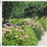 紫陽花の咲く根尾川ガーデンへ出かけたが・・・