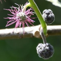 ヒメコウゾの雌花序と雄花序