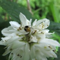 散髪の帰り道:ハクチョウゲ、イボタノキとタモリの似顔みたいに見える虫にも