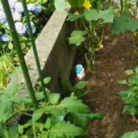 【我菜園便り】優性遺伝子を残すため重要な剪定