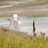 立岩川河口のハマナデシコなど♪(6月26日)