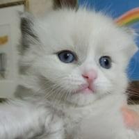 可愛いラグドールの子猫達(=^・^=)