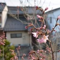 啓翁桜が開花しました!