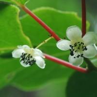 絡みつきタイプつる植物のサルナシ2