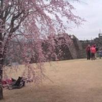 甲府城 本丸の桜とお客さん