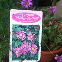 庭の花(ハナモモ、山椒の芽、新入りのブラキカム・ディバシフォリア)