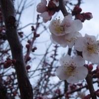 ウメ開花          去年より8日早い