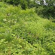 八方尾根の自然:クガイソウの花が咲き始めていました。