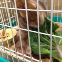 野菜嫌いのウサギ