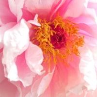 牡丹の花とハナムグリ??」