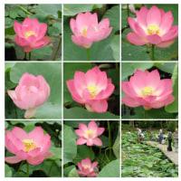 20000625千葉公園。梅雨時の蓮は綺麗に見えます。