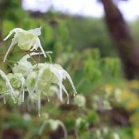 パンセの庭の花 五月十八日 キバナカタクリ キバナイカリ イワカガミ