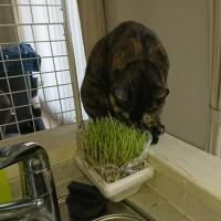 豆苗を食べる猫、ぷっくる