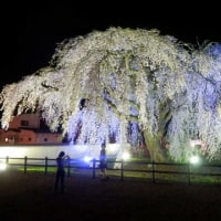 170505 北斗市法亀寺の枝垂れ桜、今年は