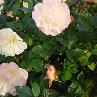 1月にバラが咲いているなんて・・・( ゚Д゚)