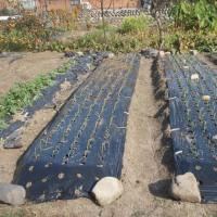 タマネギの苗植え