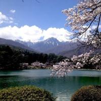 桜が満開(伊那の桜フィナーレ地区)
