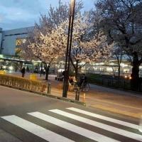 三鷹駅南口 桜