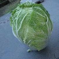 家庭菜園 大きな白菜