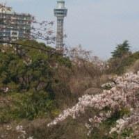 横浜のさくら