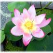 夏を象徴する花(^^♪蓮は泥より出でて泥に染まらず 極楽浄土の蓮華(れんげ)が「ハス(蓮)の花」