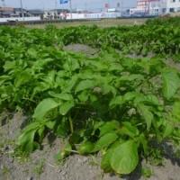 枝豆が芽を出してきました(#^.^#)