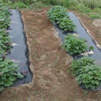 サツマイモ畝回りの草取り2日目。