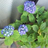 …紫陽花…