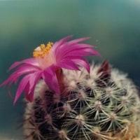 松霞など花サボテン