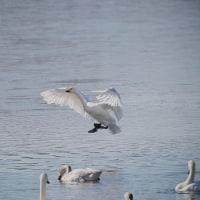170131-0201_多々良沼と その周辺-9 <白鳥-2>
