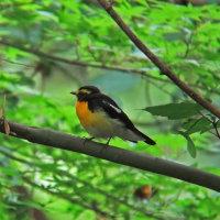 日曜日の鳥見・キビタキ