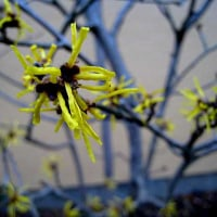 常盤満作(ときわまんさく)という花