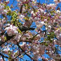 泉の桜 (南伊勢町)