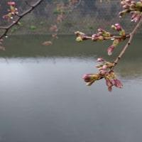 桜の蕾の巻
