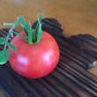 夏本番、トマトの収穫
