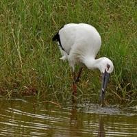 湿地で行動:コウノトリJ0067の観察と滞在記録更新