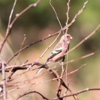 ベニマシコ, Long-tailed Rosefinch