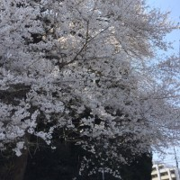 仙台 桜満開
