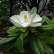 今年も泰山木の花