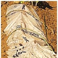 ブロッコリー ・・・ 2度目の 収穫