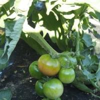 トマトの手入れと支柱立て。