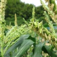 玉蜀黍の花