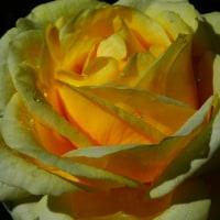 『秋のバラ』 快挙