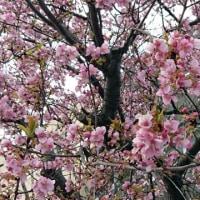 桜区役所の周囲の河津桜が満開でした