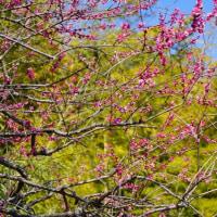 寒い日が続く神代植物公園に春近し その2