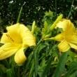 海の日に 『浜朴 (ハマボウ)』の花