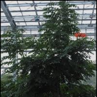 世界三大花木のカエンボク